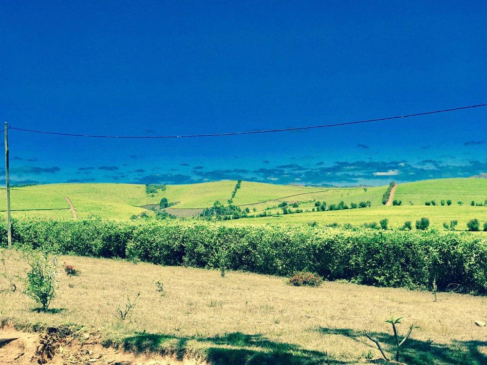 More Tea Fields.