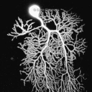 Cajal 2.jpg