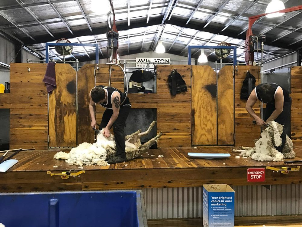 state-of-the-art shearing equipment with welfare at the forefront
