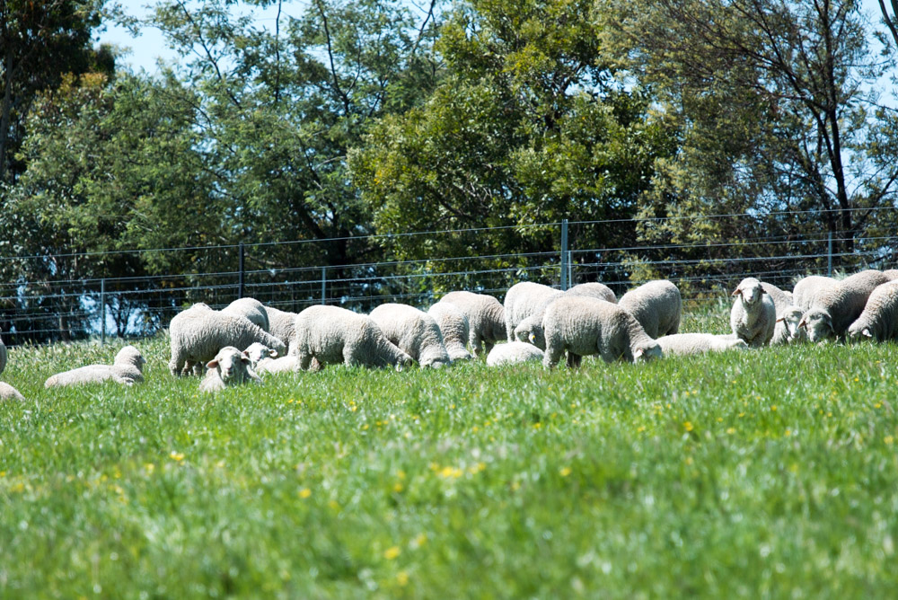 Sheep at Avington enjoy ethical farming practises and are not mulsed.