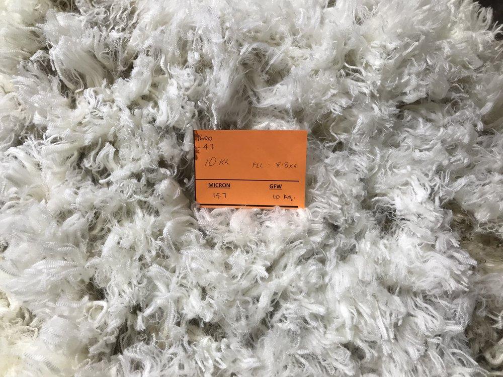The ram was blade shorn the day after Bendigo. Fleece weight 10kg