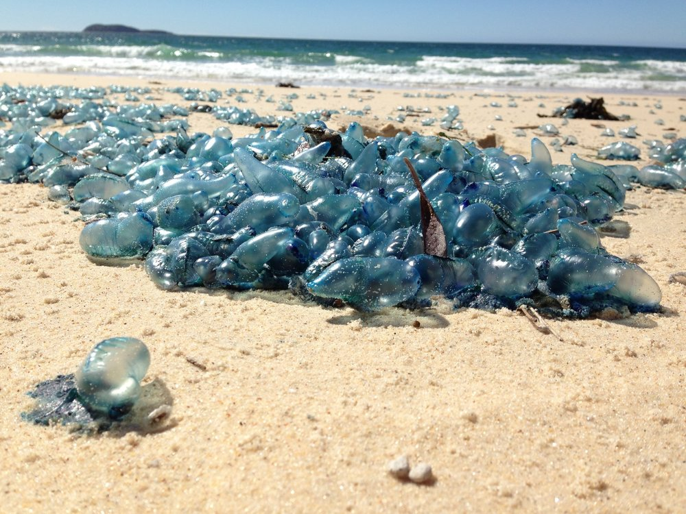 Blue bottle jellyfish washed up on the north coast of NSW