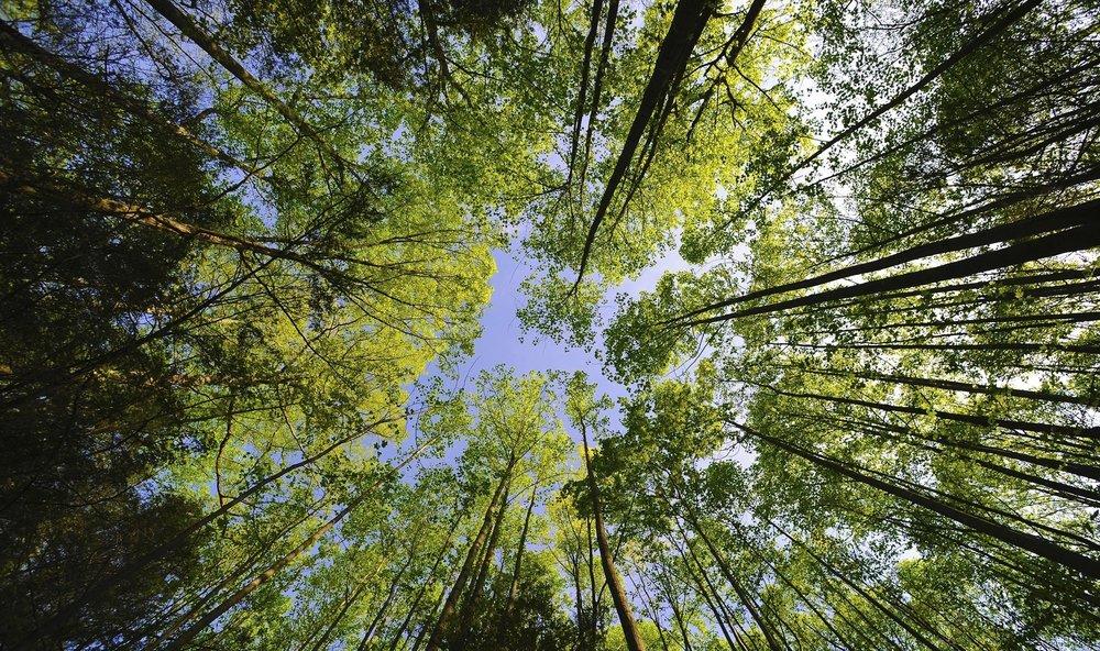 tall_trees_forest-wallpaper-2560x1600.jpg