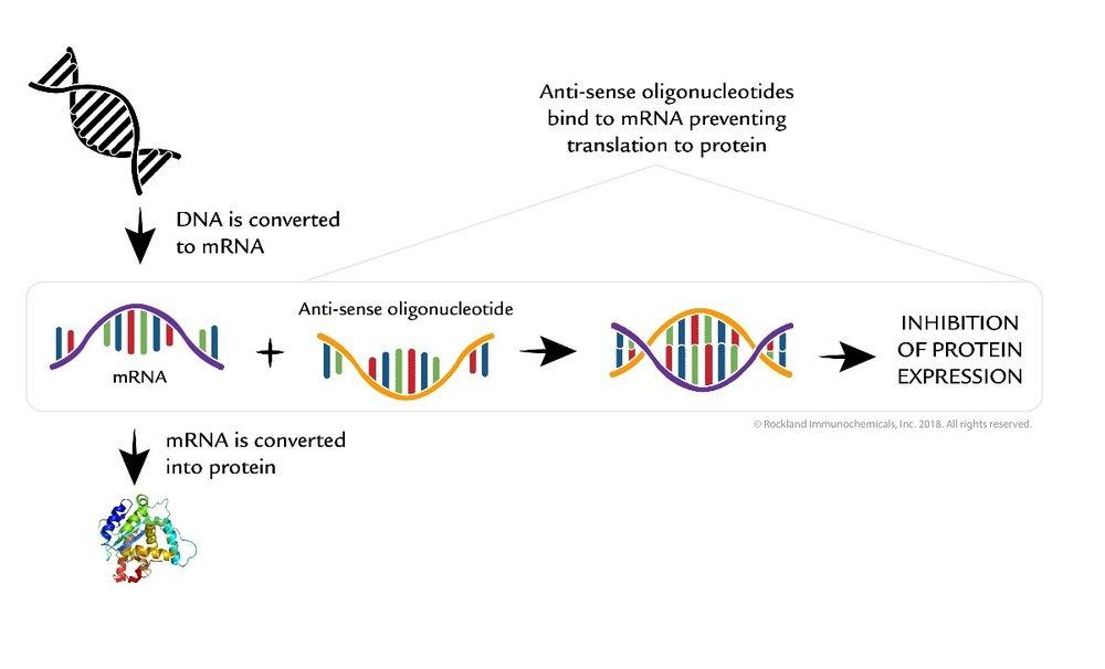 Image credit:    https://rockland-inc.com/anti-oligonucleotide-antibodies.aspx