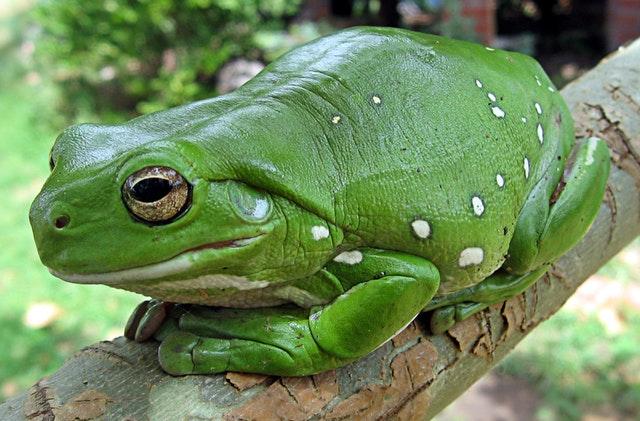 finger-coral-tree-frog-running-frog-frog-anuran-78784.jpeg