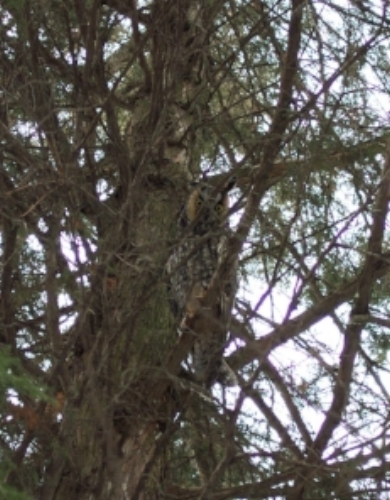 Look closely and you will see a long eared owl looking back at you.