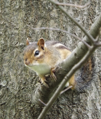 Chipmunks are out and about early this year.