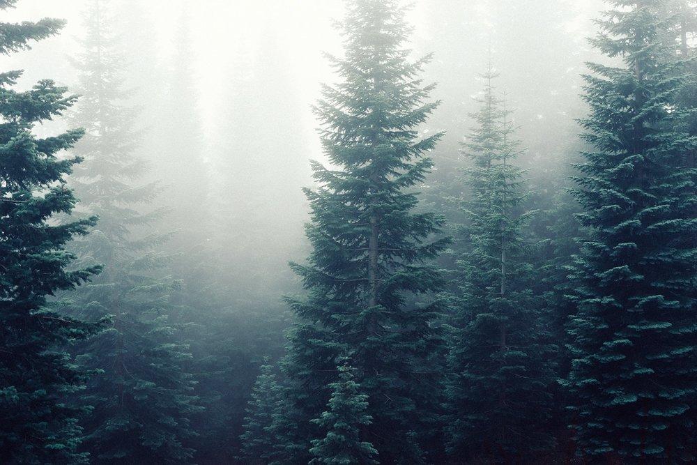 firs-fog-foggy-5049.jpg