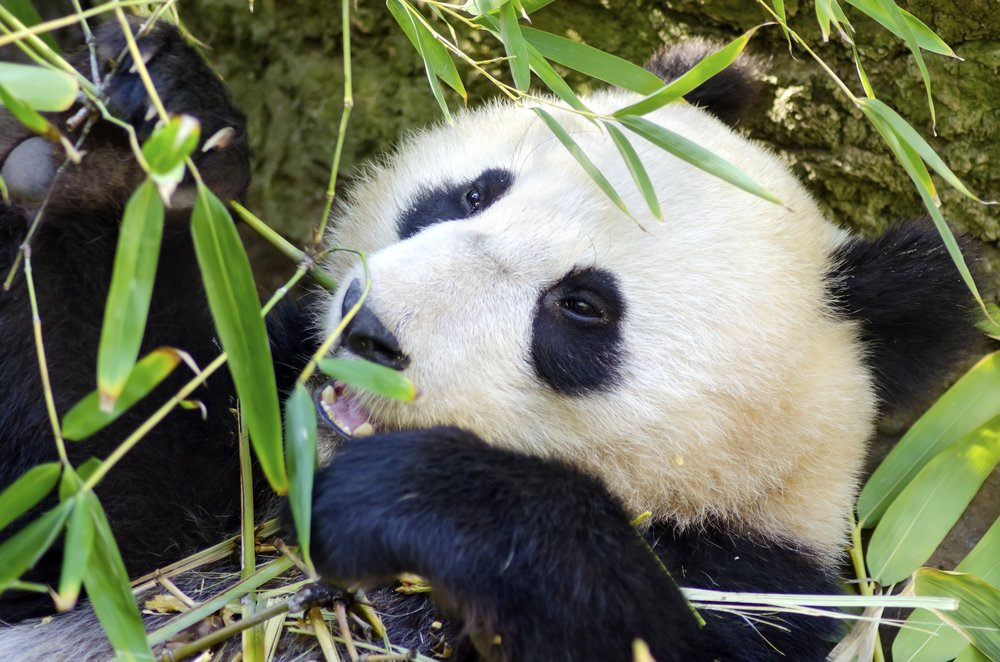 Hillcrest Zoo Panda.jpeg