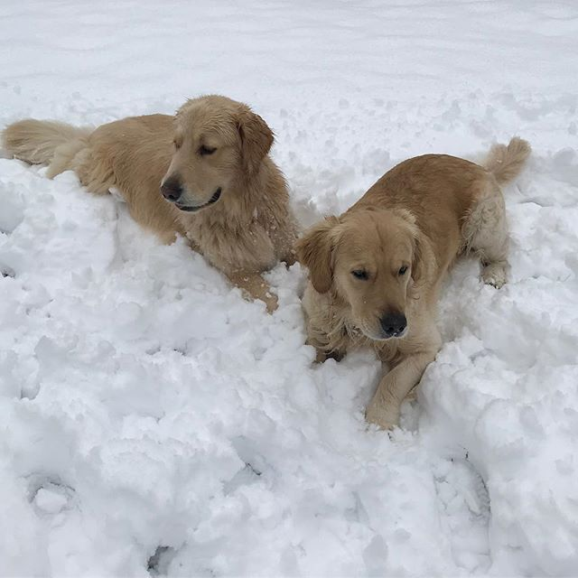 Snow in April?! Miserable for everyone but these two! ❄️🐶🐶 #goldenretriever #patrickthepup #cutegene #snow #servicedog #5q143deletion