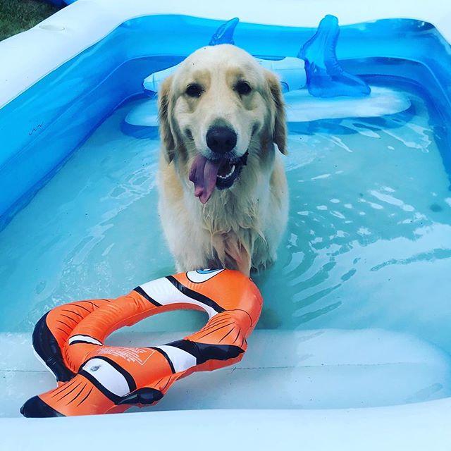 Cooling off! 😎#servicedog #cutegene #goldenretriever #dogsofinstagram #dogs #mef2c #microdeletion5q143