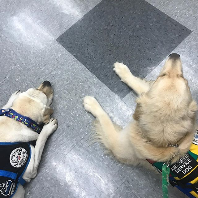 Patrick and Ice go to school! 😍 #servicedog #5q143deletion #mef2c #cutegene