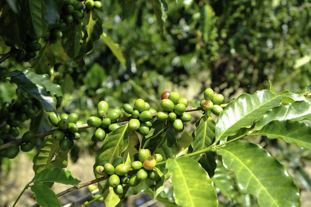 Hacienda Venecia-2-coffee bean.jpg