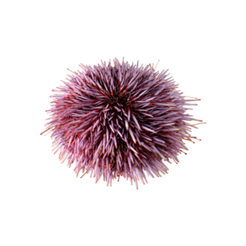 live jumbo purple sea urchin regalis