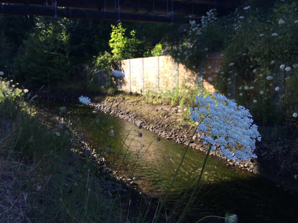 Queen Anne's Lace on North Creek