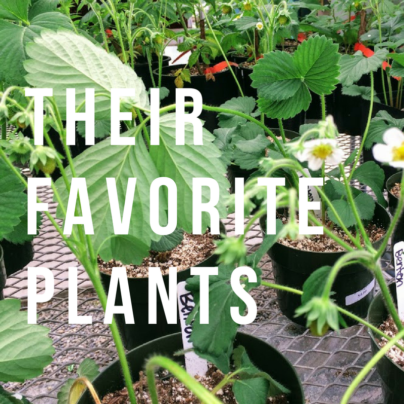 Student Farmers Favorites at Abe's Golden Acres: Chocolate mint Strawberry Kale Blueberries Hastas Oregano Flowers Snapdragons Fuchsias Salvia (3 kinds!)
