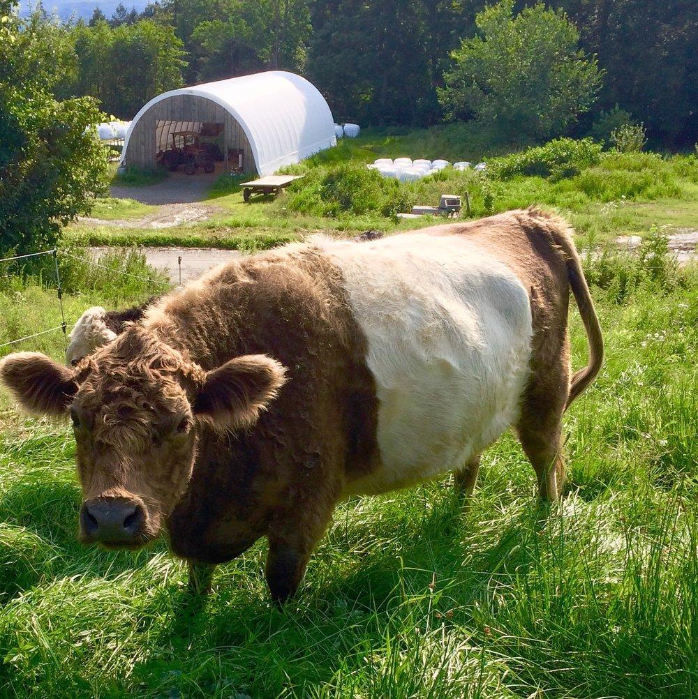 FLO_happy_cow_roselily_farm.jpg