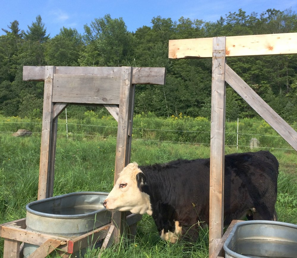 MAPLE_roselily_farm_happy_cows.JPG