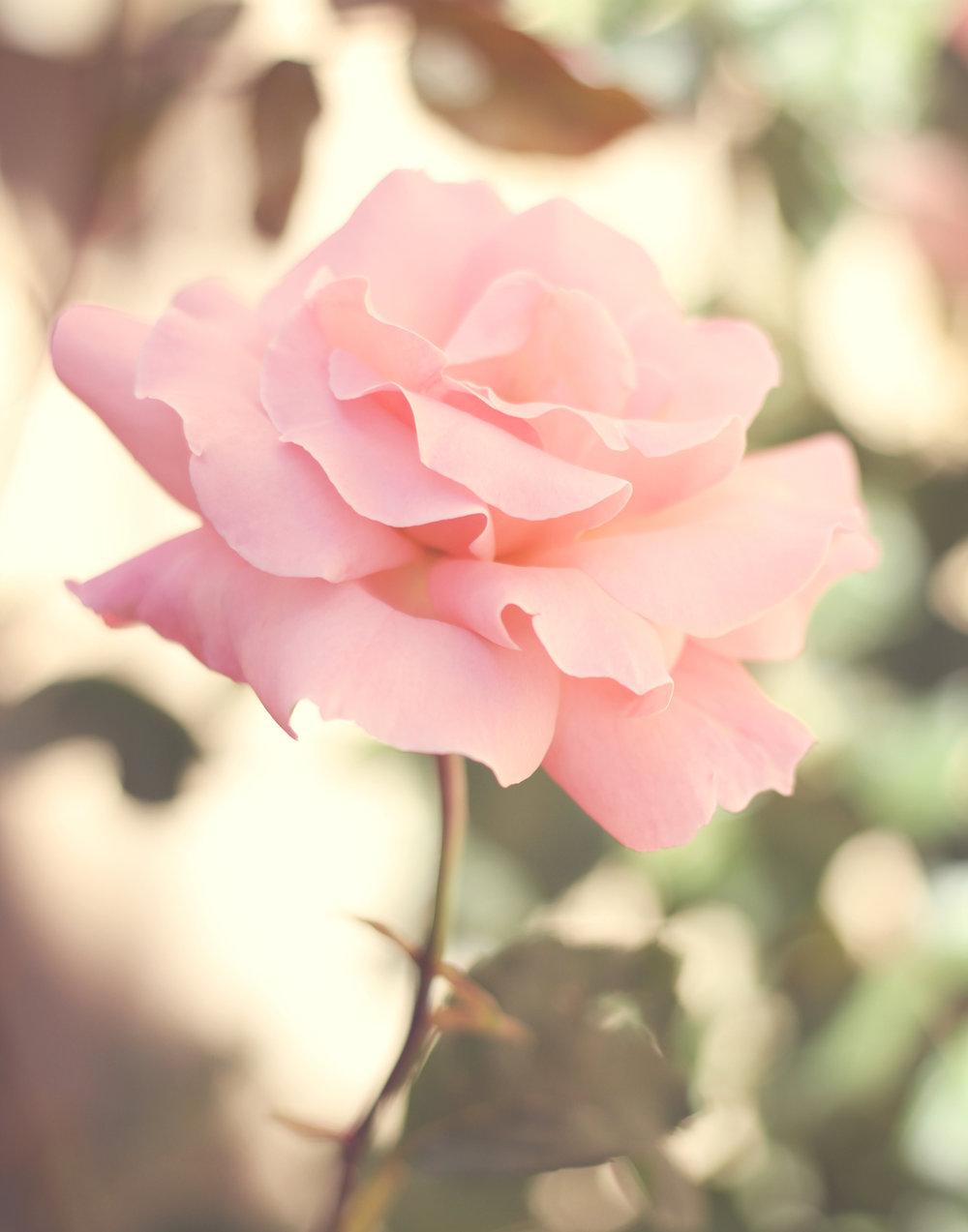 Eve Rose Mid Size.jpeg