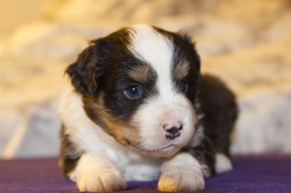 Deadpool     ASDR Registered    Miniature Australian Shepherd    4 weeks old   Black tri males (brown eyes, and blonde hairs on butt.)
