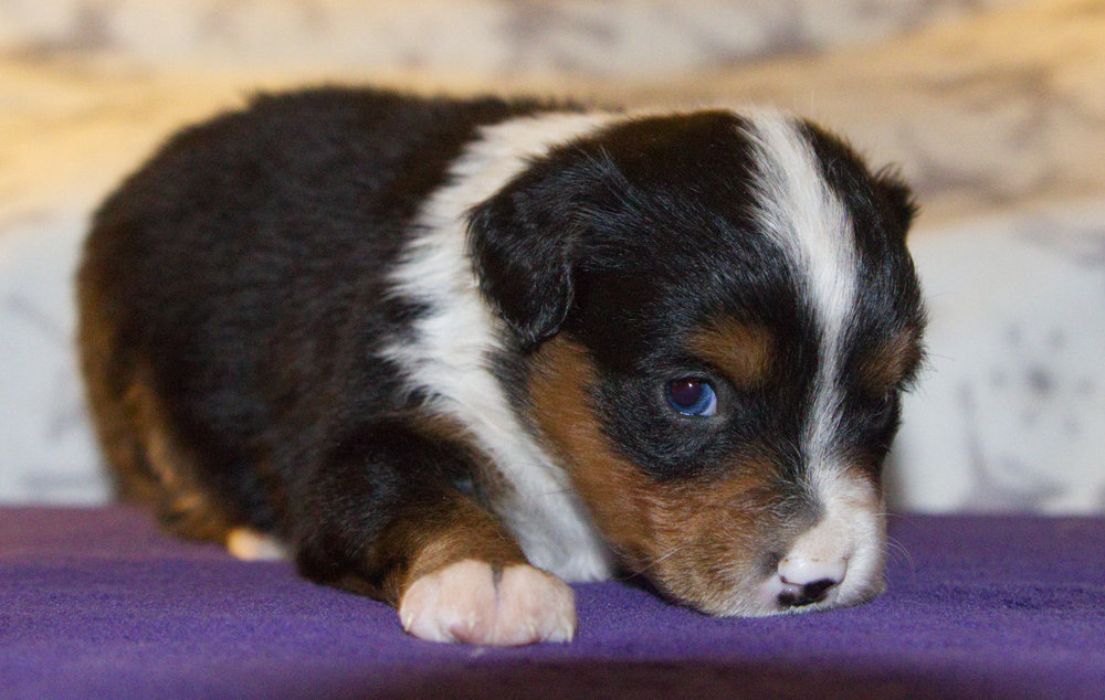 Negasonic Teenage Warhead (Warhead)     ASDR Registered    Miniature Australian Shepherd    4 weeks old    Black tri female (brown eyes)
