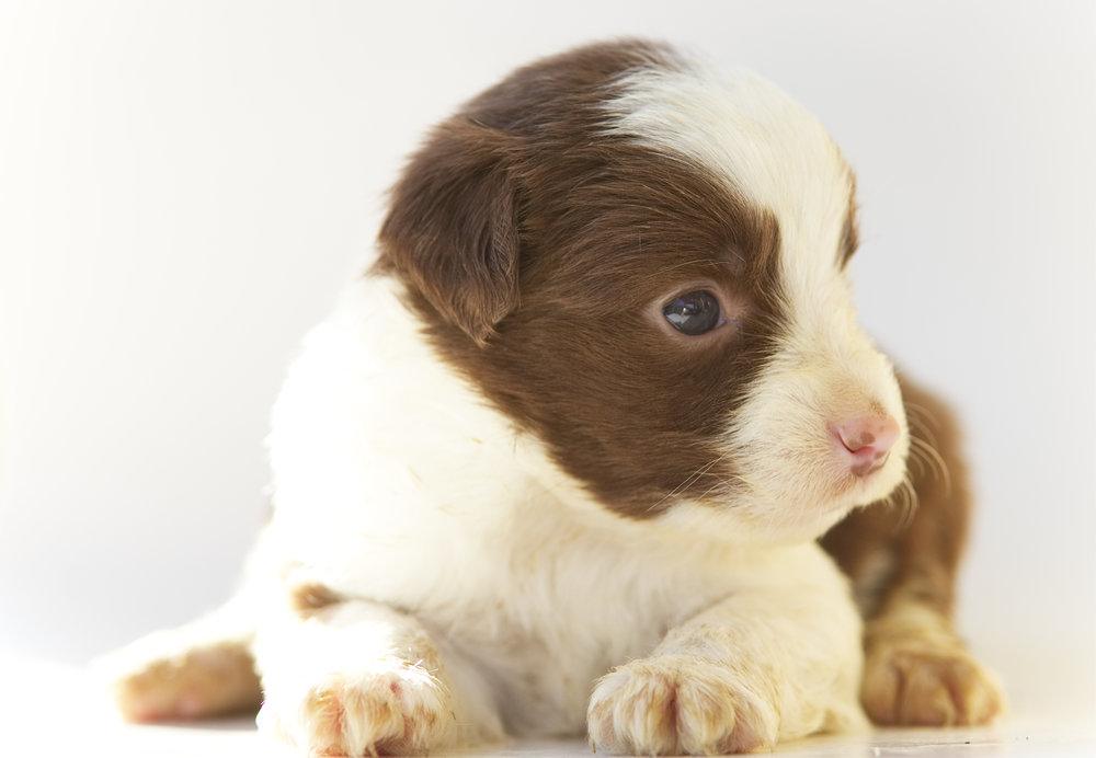 Nemo Red bi male Smallest PUP. Ready May 22nd