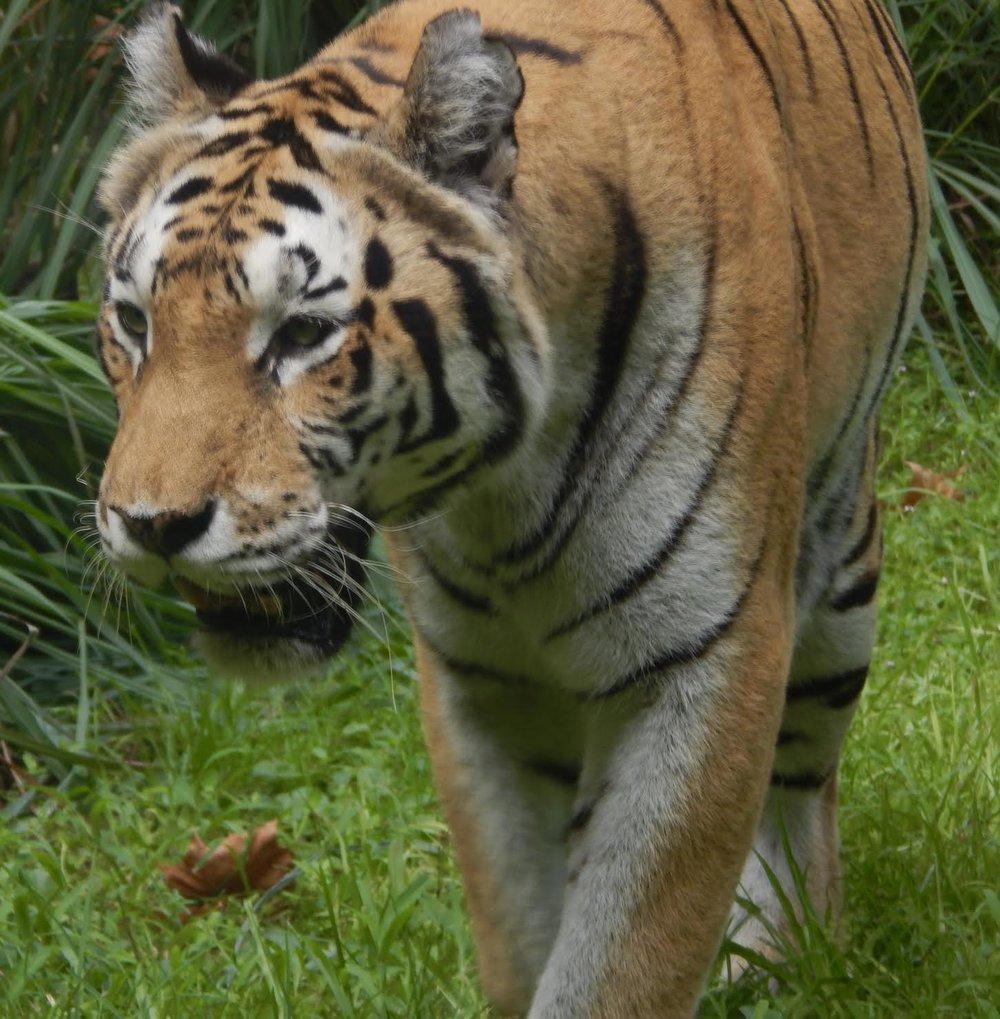 tiger peacefeel.jpg