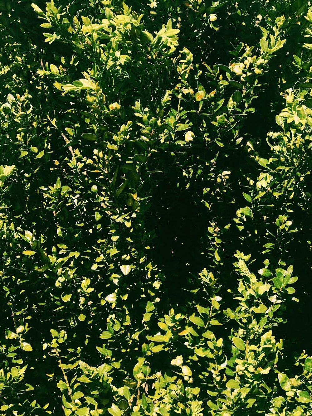 green bush pcfl.jpg