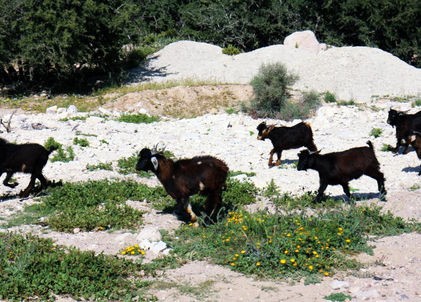 Goats near Agadir, Morocco