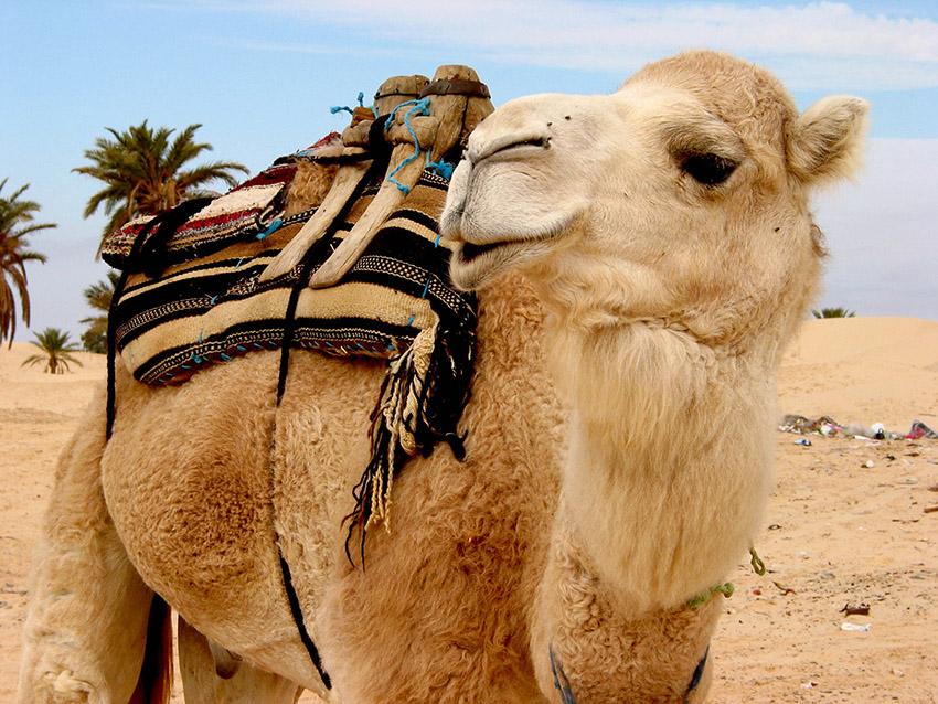 sabria camel   57 .jpg