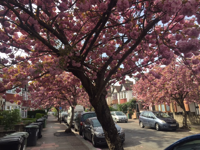 Martin Joyce_Cherry Blossom in Troutbeck Road.JPG