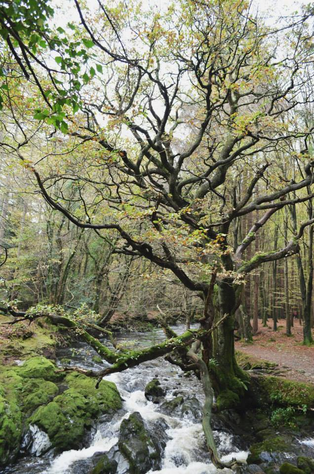 Tollymore Forest trees.jpg