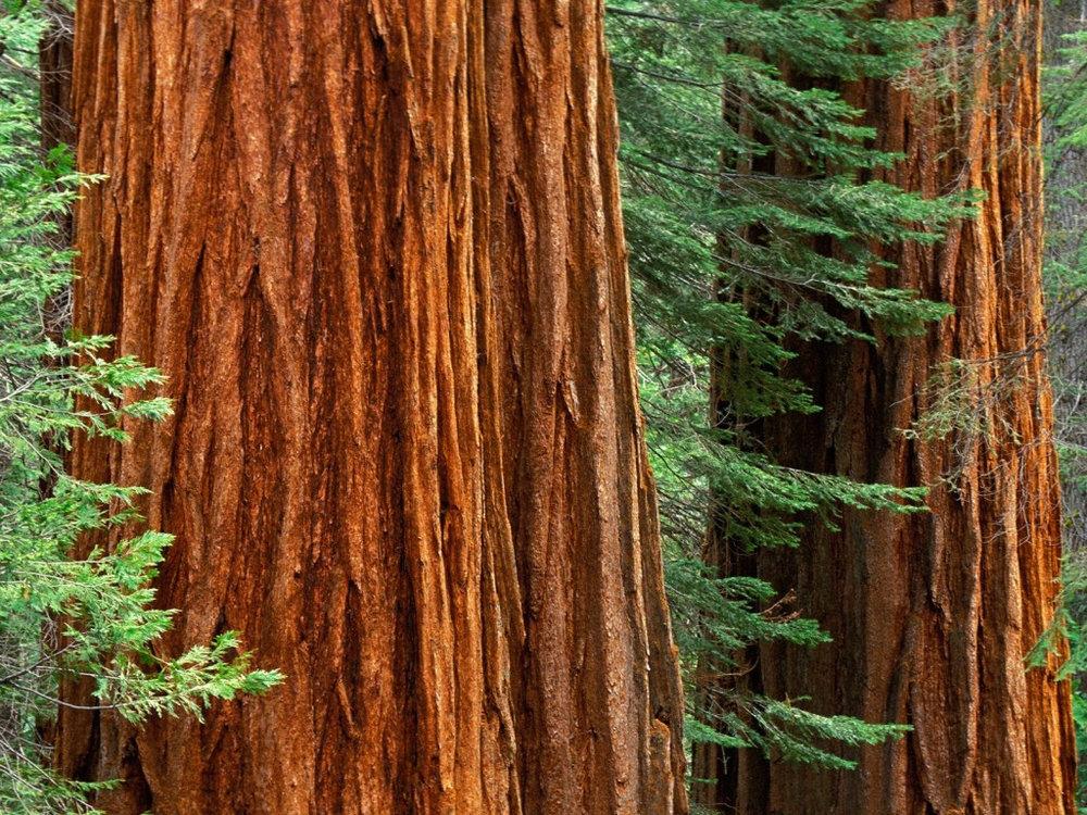 beesker american trees.jpg