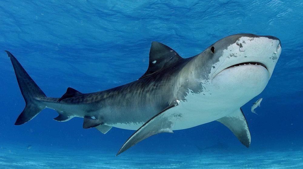 beesker sharks.jpg