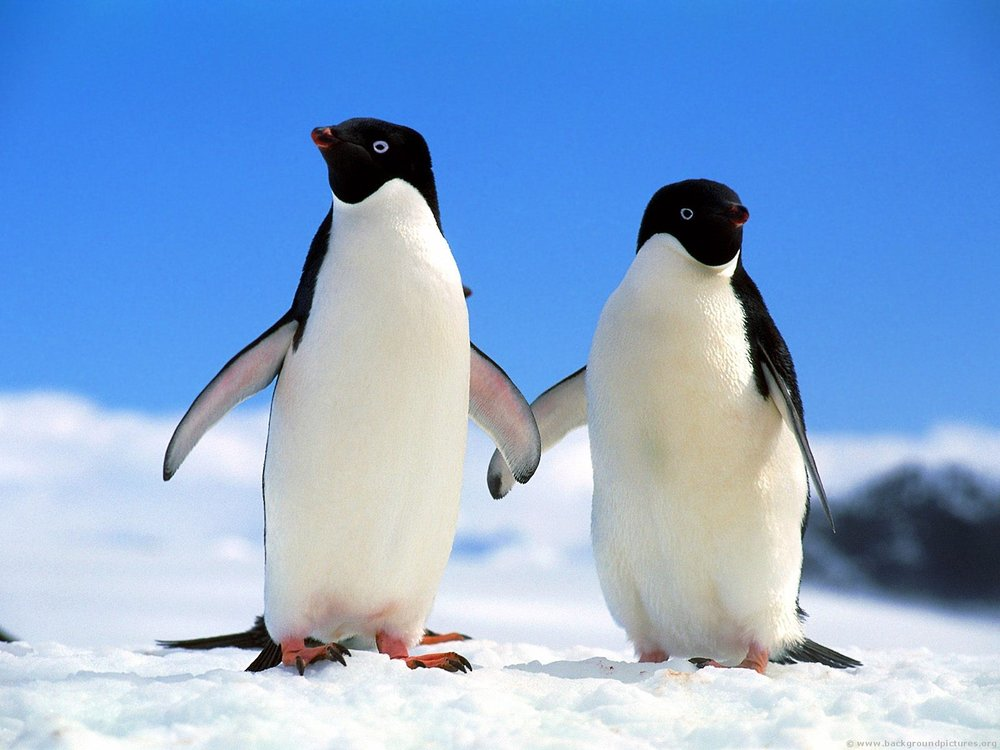 beesker penguins.jpg