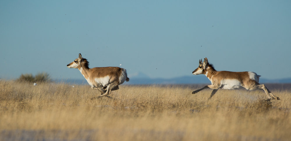 Pronghorn-Pair.jpg