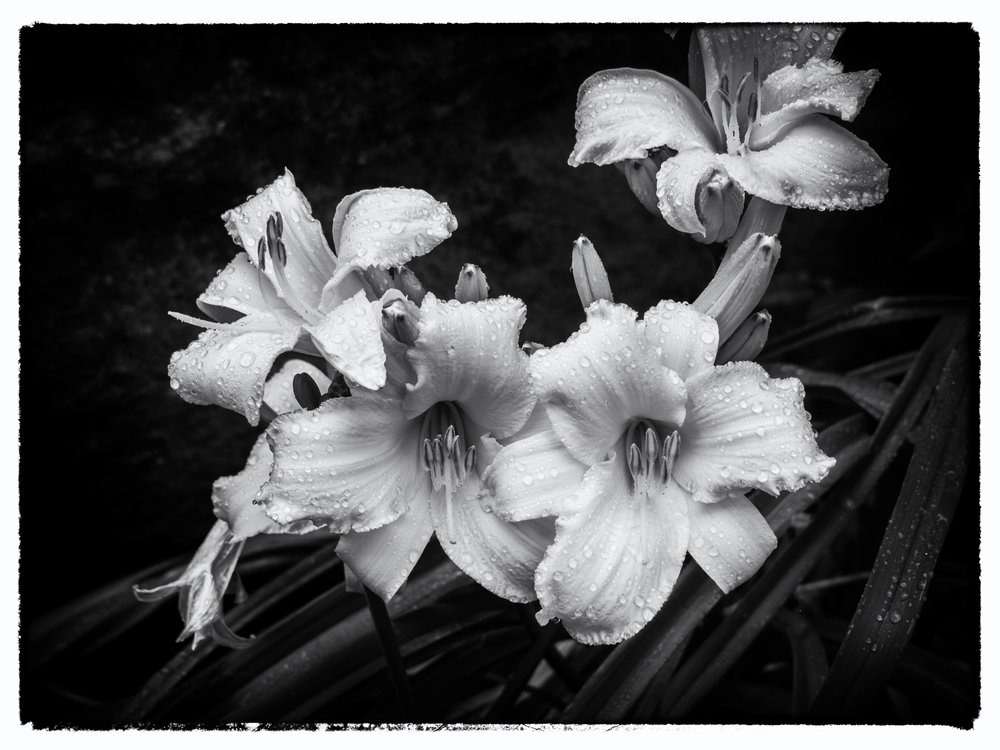 lilies_bw (1 of 1).jpg