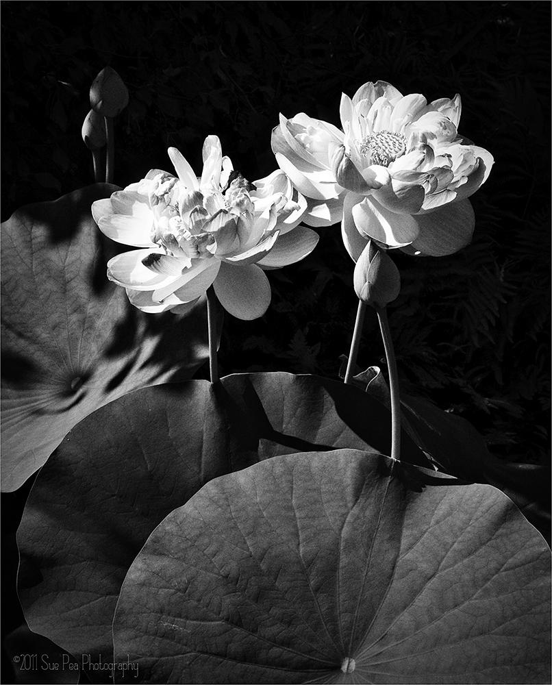 lotus_bw.jpg