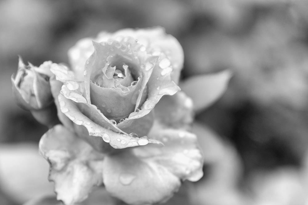 rosedrops (1 of 1).jpg