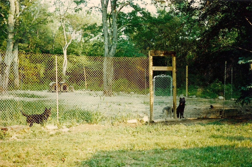 Charles bought wolves from a breeder in Maine. He says that he bonded deeply with them, even bottle-feeding pups (top left). He kept the wolves fenced off in a large kennel in his backyard (above), but they often escaped. Once, a wolf ate his neighbor's dog.