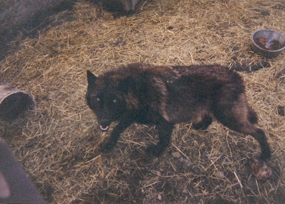 Charles's favorite wolf was a female named Tatiana (above). He claims that Tatiana was shot by the police when she escaped from the kennel one night.
