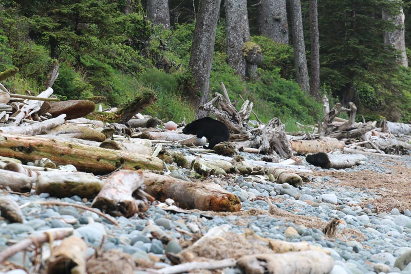 A bear deciding to nap after seeing thirteen hikers march nearby (photo by Blair Ryan)