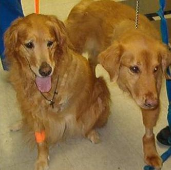 Two ACIC patients that had undergone forelimb amputation for OSA.  Both dogs tolerated the surgery beautifully and were simultaneously receiving chemotherapy.