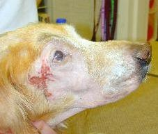 A severe example of desquamation after radiation therapy in a dog treated for an extensive nasal carcinoma.  Complete healing occurred in approximately 3 weeks.  The reddened area near the eye was caused by the patient rubbing his face on the carpet while the tender skin was healing.