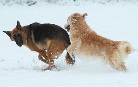 Poet, the Golden Retriever on the right, is enjoying romping in the snow after undergoing surgery and radiation therapy for a soft tissue sarcoma.