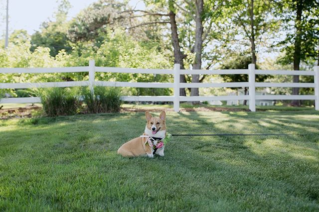 Woof Morning from @wendythedarlingcorgi ⁣ .⁣ #rockafellinlove #livewellfarm⁣ .⁣ Meghan + Jim | June 9, 2018 | Venue: @livewellfarm | Event Coordination: @genevamwc #genevamwc | Catering: @fireandco | Photography: @leahfisherphoto | Rentals: @marshall_tent_and_event | Florals: @prettyflowersmaine | Band: @thewaitersmaine | Bartending: @csturge24 | Cake: @thewineybaker | Rehearsal Dinner Caterer: @churchill.events | Rehearsal Dinner Rentals: @onestopeventrentals⁣ •⁣ •⁣ •⁣ •⁣ •⁣ #LiveWellLoveWell #CoastalWedding #FarmWedding #FarmWeddingVenue #MaineWedding #APWwedding #WeddingWireRated #NewEnglandWedding #RealWeddingInspiration #MaineWeddingVenue #BarnWedding #MarryInMaine #HuffPostIDo #WeddingPhotoMag #JoyWed #BackyardWedding #207weddings #RusticWeddingChic #WCvendor #RealMaineWeddings #TheMaineBride #ItStartedWithYes #GreenWeddingShoes #TodaysWedding