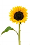 Bloom Sunflower Flower Yellow Flower Yellow Nature