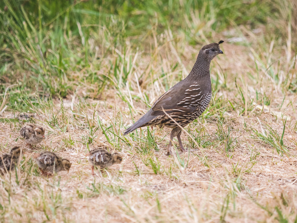 female quail and her chicks
