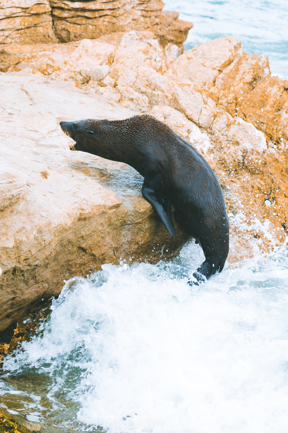 after losing battle, this fur seal falls into the water