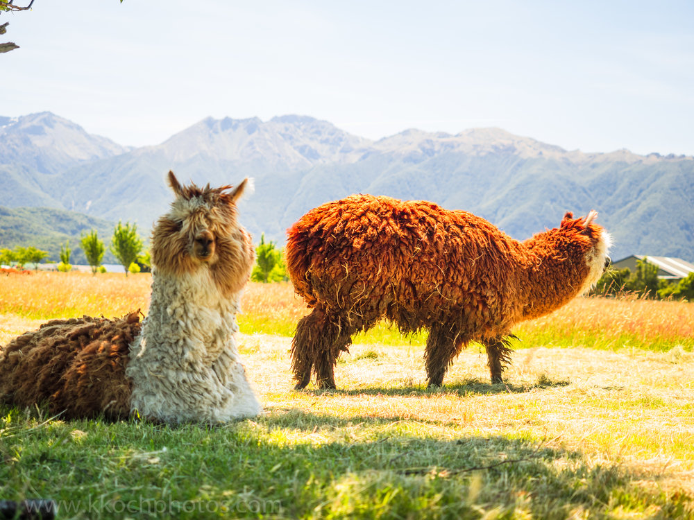 furriest alpacas ever